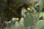 Israel, Carmel mountain, flowering Opuntia ficus-indica (Indian Fig Opuntia)
