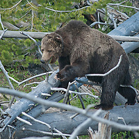 A Grizzly Bear (Ursus arctos horribilis), easily navigates downed timber in Yellowstone National Park.