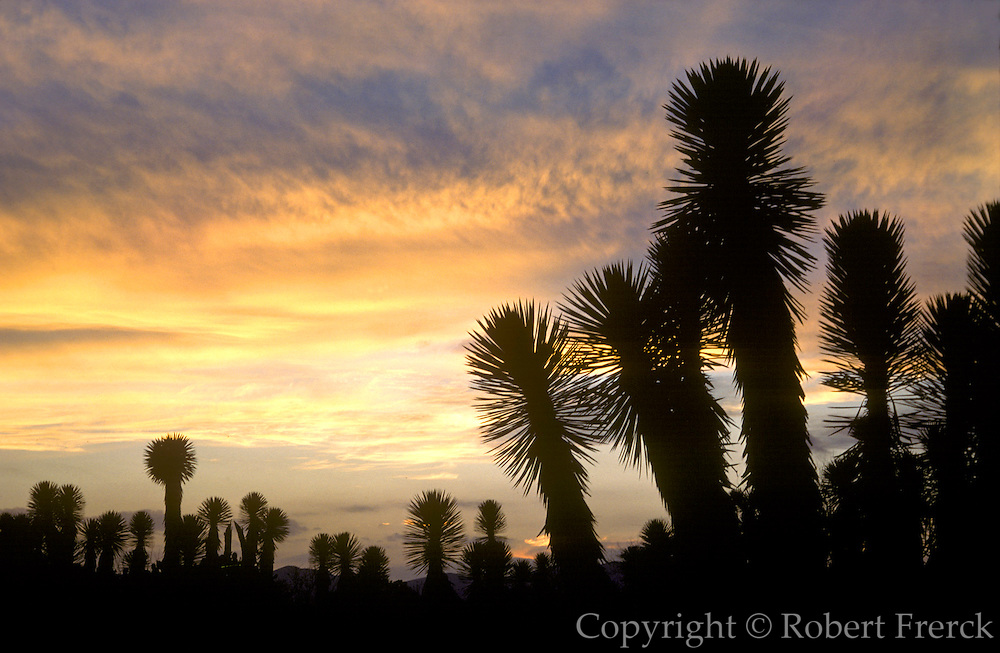 MEXICO, LANDSCAPE, CENTRAL MEXICO Desert scenery with cactus and yucca at sunset near Matehuala in the State of San Luis Potosi