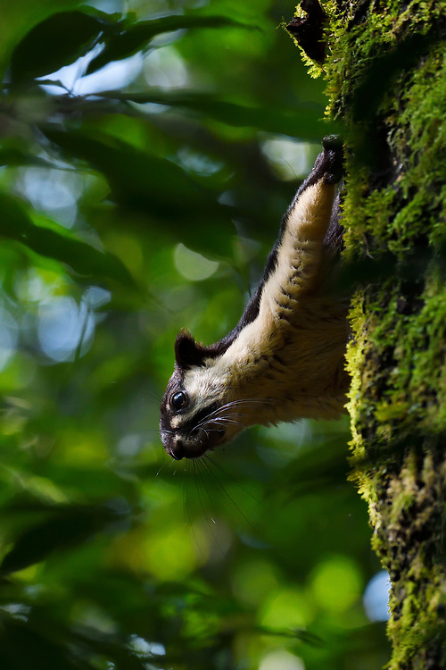 Black giant squirrel, Ratufa bicolor, sitting on a tree at Tongbiguan nature reserve, Dehong prefecture, Yunnan province, China