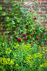 Rosa Guinée with Euphorbia oblongata and Lonicera × brownii 'Fuchsioides'