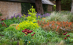 Tulipa 'Abu Hassan', Euphorbia griffithii 'Fern Cottage' and Euphorbia palustris in the borders at Pettifers
