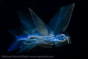 Young Flying Fish, Exocoetidae sp., drifting at night in the Gulf Stream offshore Palm Beach, Florida, United States. Image available as a premium quality aluminum print ready to hang.