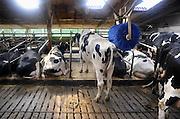 Nederland, Persingen, 20-9-2009Koeien in de stal. Er is een mechanische borstel opgehangen zodat de beesten zich kunnen laten krabben en schuren.Foto: Flip Franssen/Hollandse Hoogte