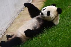CHANGCHUN, Oct. 4, 2016 (Xinhua) -- Giant panda ''Meng Meng'' plays at the panda hall of Siberian Tiger Park in Changchun, northeast China's Jilin Province, Oct. 4, 2016. Giant pandas ''Meng Meng'' and ''Jia Jia'' attracted a large number of tourists during the National Day holiday. (Xinhua/Lin Hong)(mcg) (Credit Image: © Lin Hong/Xinhua via ZUMA Wire)