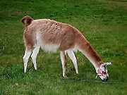 A llama browses in a green grass pasture.