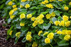 Ranunculus ficaria Flore Pleno. Lesser Celandine - Double form