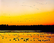"""Multiple flocks of migrating Canada Geese (Branta canadensis) are silhouetted against the evening sky as the sun sets over Blackwater National Wildlife Refuge on the Eastern shore of Maryland, Halloween night, October 31, 1990.  Blackwater National Wildlife Refuge, encompassing over 27,000 acres of wetlands, is a major stop on the Atlantic Flyway for many types of waterfowl and other birds.  The refuge, established in 1933 as a waterfowl sanctuary, has been designated of """"International Importance"""" by the Ramsar Convention as it supports over 250 bird species, 35 species of reptiles and amphibians, 165 species of threatened and endangered plants, and numerous mammals.  During winter migration, Blackwater Refuge is home to approximately 35,000 geese and 15,000 ducks. Fed by the Blackwater River and the Little Blackwater River, it consists of numerous freshwater impoundments, brackish tidal wetlands, open fields, and mixed evergreen and deciduous forests. The Blackwater name refers to the tea-colored waters darkened by tannins leached from the marsh peat soil through which they drain."""