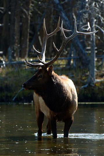 Elk (Cervus canadensis) Bull. Fall rut. Yellowstone National Park.