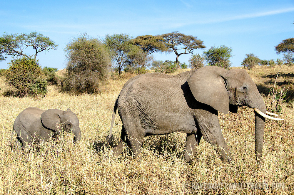 A young elephant follows an adult at Tarangire National Park in northern Tanzania not far from Ngorongoro Crater and the Serengeti.