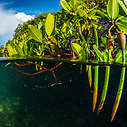 """Red mangrove (Rhizophora mangle) propagules, the """"seeds"""", become fully mature plants before dropping off the parent tree to drift away and establish a new tree. Image made in The Bahamas."""