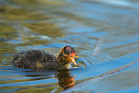 An American Coot chick, Fulica americana, swims in a lake in Papago Park, part of the Phoenix Mountains Preserve near Phoenix, Arizona