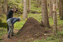 Two mature hikers looking at anthill in forest, Austrian Alps, Carinthia,  Austria