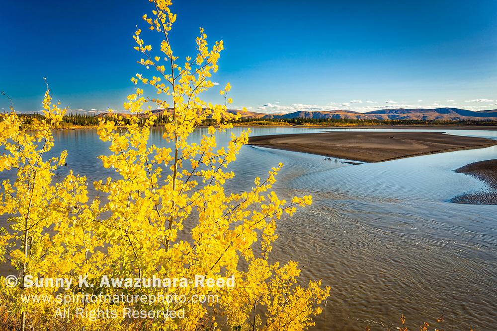 Bright yellow birch at Tanana River, Tok, Eastern Alaska, Autumn.