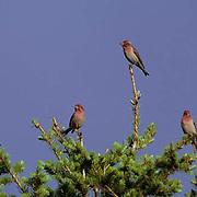 Cassin's Finch, (Carpodacus cassinii) Group of male birds on top of evergreen tree. Summer.