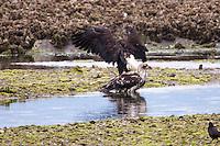 An immature Bald Eagle (Haliaeetus leucocephalus) (Halietus leucocephalus) glides low  in motion blur along Hood Canal in Puget Sound, Washington state, USA