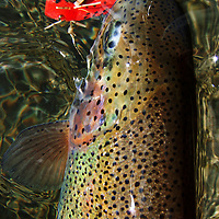 A rainbow trout in hand fooled to rise by red hopper .<br /> <br /> Ryan Brennecke/Ryanbrennecke.com