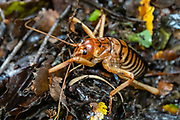 The weta is a giant flightless cricket endemic to New Zealand. Weta is the common name for 70 insect species in the families Anostostomatidae and Rhaphidophoridae. Preyed upon by introduced mammals, some of the weta species are now critically endangered. Hollyford Track, Fiordland National Park, Southland region, South Island of New Zealand. In 1990, UNESCO honored Te Wahipounamu - South West New Zealand as a World Heritage Area.