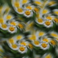 """""""Daisy Fever"""" <br /> <br /> A wonderful swirling daisy and feverfew abstract in green, white, and yellow!"""