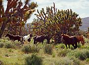 Horses among Joshua Trees, Jushua Trees National Natural Landmark, Grand Wash Cliffs, Arizona.