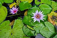 France, Martinique, le Jardin de Balata, jardin botanique de plantes tropicales, Lotus // France, Martinique, Balata tropical garden, Lotus