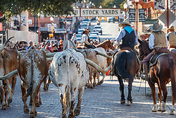 Cowboys Driving Texas Longhorns through Street at Fort Worth Stockyards as tourists look onward, Fort Worth Stockyards, Fort Worth Texas, USA.