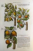 Botanical illustration of a three citrus trees and fruit: Lemon, Bitter orange and Pomelo trees. By Mathias Lobel. Printed in 1576