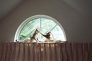 Rockville Centre, New York, U.S. 2000. Two Singapura cats lying on curtain rod high in half-moon window. [First digital photo I ever captured]