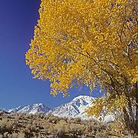 Owens Valley, California.Fall-colored cottonwoods under eastern Sierra Nevada escarpment.