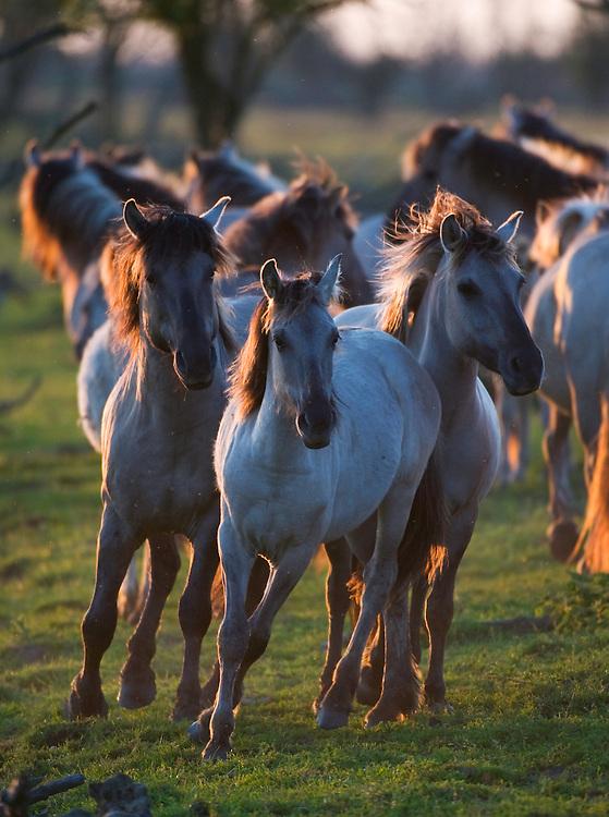 Konik horses in late evening light, Oostvaarderplassen, Netherlands. Mission: Oostervaardersplassen, Netherlands, June 2009.