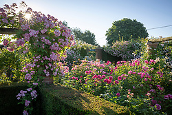 Roses in The Long Garden at David Austin Roses. Rosa 'Blush Rambler' on the pergola, Rosa 'James L. Austin' syn.'Auspike' in the foreground