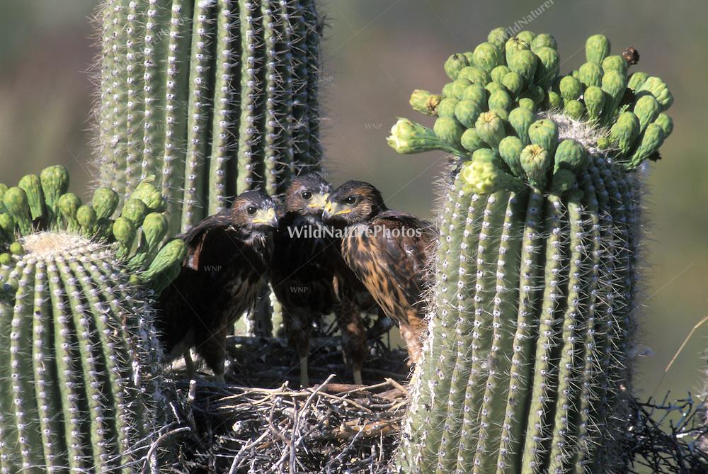 Harris Hawk fledglings in nest in Saguaro; Sonoran Desert, Arizona