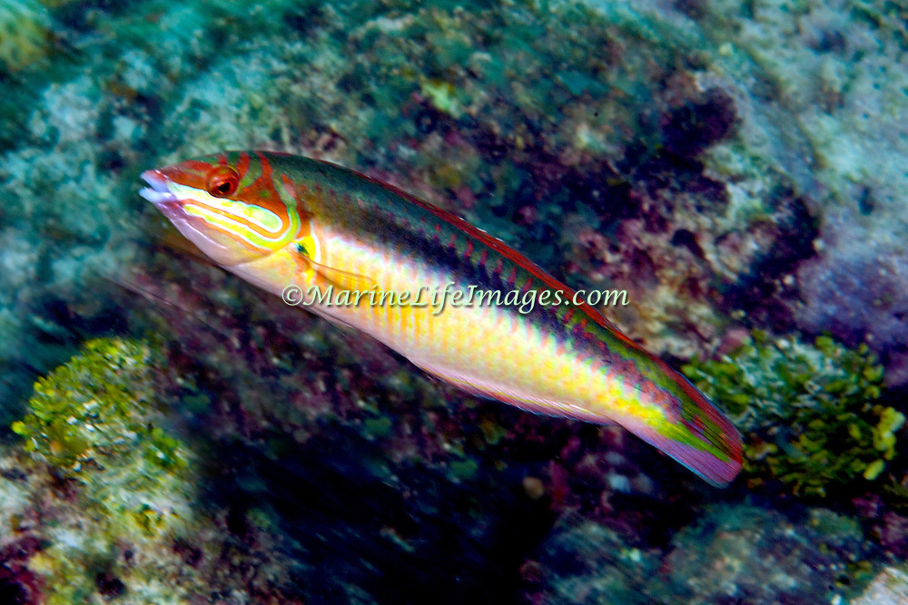 Clown Wrasse inhabit reefs and adjacent sand areas in Tropical West Atlantic; picture taken Florida Keys.