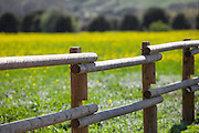 Wild Yellow Mustard Field in San Juan Capistrano California