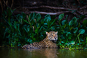 A jaguar, Panthera onca, cooling down in the water.