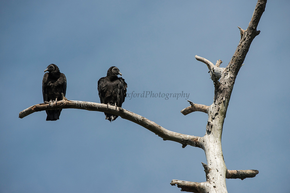 Black Vulture (Coragyps atratus)<br /> Little St Simon's Island, Barrier Islands, Georgia<br /> USA