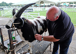 © Licensed to London News Pictures.14/07/15<br /> Harrogate, UK. <br /> <br /> A man clips the wool on one of his sheep before showing it on the opening day of the Great Yorkshire Show.  <br /> <br /> England's premier agricultural show opened it's gates today for the start of three days of showcasing the best in British farming and the countryside.<br /> <br /> The event, which attracts over 130,000 visitors each year displays the cream of the country's livestock and offers numerous displays and events giving the chance for visitors to see many different countryside activities.<br /> <br /> Photo credit : Ian Forsyth/LNP