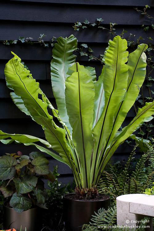 Enstete - Banana plant - in a container