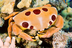seven-eleven crab or dark finger coral crab, Carpilius maculatus, Kona Coast, Big Island, Hawaii, USA, Pacific Ocean