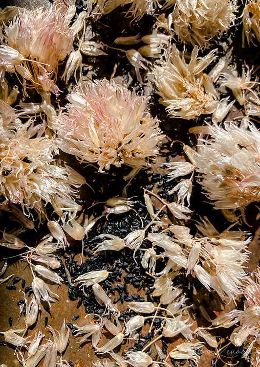 Dried chive flowers and seeds