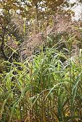 Miscanthus sinensis var. condensatus 'Cosmopolitan' AGM