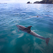 Bottlenosed Dolphins in playful mood watched by Dolphin watch boats who follow the dolphins in the waters around  Paihia, while taking part in the swimming with dolphins experience run by Fullers Dolphin encounters from Paihia..The Bay of Islands is a stunning region consisting of 144 islands, abundant in natural wonder and marine life. With some of the warmest waters in New Zealand, the Bay of Islands is a natural wonderland where you can encounter bottlenose and common dolphins, whales, seals, penguins and a diverse range of birdlife.. Paihia, Bay of Islands, North Island,  New Zealand, 15th November 2010. Photo Tim Clayton.