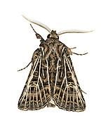 Feathered Gothic - Tholera decimalis