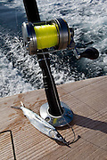 Light tackle conventional gear with single circle hooked ballyhoo.