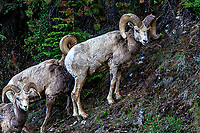 Bighorn Sheep: These Bighorn Sheep pause briefly as they climb through the thick mountain forest, Banff National Park, Alberta Canada.