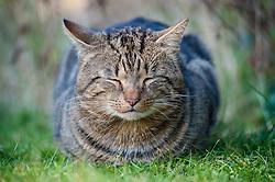 Feral male tabby cat dozing in the sunshine on a suburban garden lawn, England, United Kingdom.