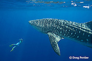 photographer James D. Watt and whale shark, Rhincodon typus, Kona Coast, Hawaii Island ( the Big Island ), Hawaiian Islands, USA ( Central Pacific Ocean ) MR 357