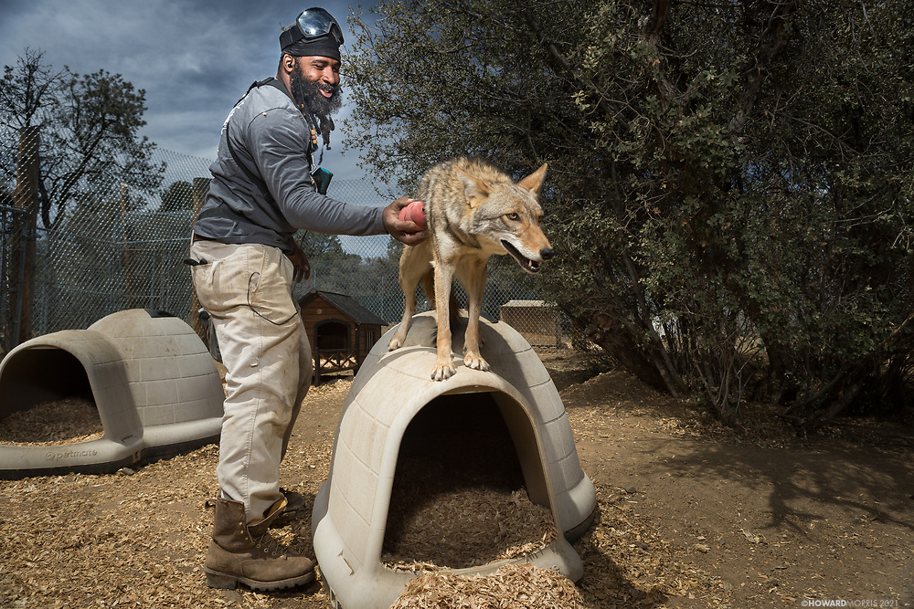 Lichen, a coyote (Canis latrans), smiles with joy as Thompson gives him the love he truly deserves. Thompson, an Iraq war combat veteran, is a member of the Wolves and Warriors program at Lockwood Animal Rescue Center (Lockwood ARC / LARC). The program is devoted to military men and women suffering with PTSD and survivors' guilt, and enables veterans to work side by side caring for a similar sentient being (wolves, wolfdogs, horses, etc.) who has also suffered from trauma. The resulting animal-bonding is the beginning of a healing process for both the veteran, and the animal.
