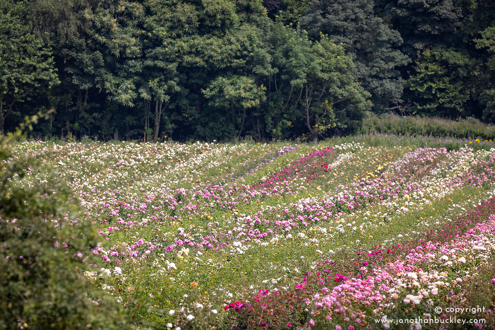 The rose fields at David Austin Roses