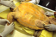 Examining the diseases of a turtle (caretta caretta) in a Naples Turtle point. ITALY